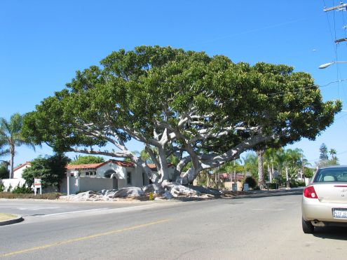Old Man Tree: view heading east on California Street