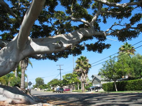 Old Man Tree: branches reaching out over California Street