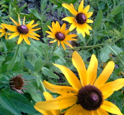 E_Rudbeckia_RESIZED