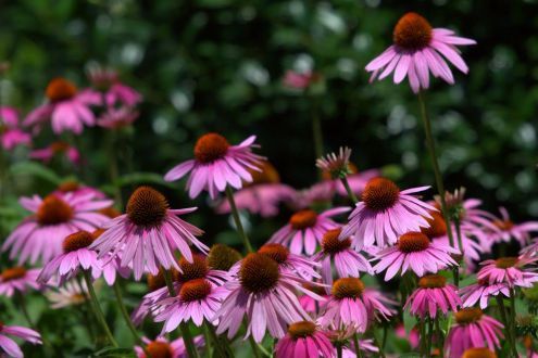 E_purple coneflowers